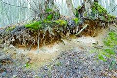 Korzenie drzewo w lasowym rozciągającym out na ziemi obrazy royalty free