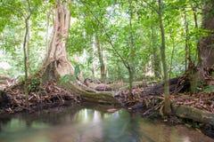 Korzenie duzi drzewa obrazy royalty free