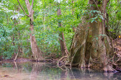 Korzenie duzi drzewa fotografia royalty free