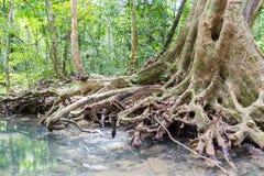 Korzenie duzi drzewa fotografia stock