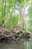 Korzenie duzi drzewa obraz royalty free