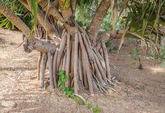 Korzenie Gandjandjal drzewo w królewiątkach park i ogródy botaniczni Zdjęcie Stock