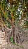 Korzenie Gandjandjal drzewo w królewiątkach park i ogródy botaniczni Zdjęcie Royalty Free