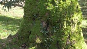 Korzenie i bagażnik ogromny drzewo z bogatą piękną teksturą przerastający z zielonym mech w lato lesie 4k, wolnym zdjęcie wideo