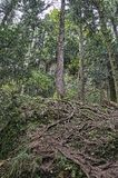 Korzenie jedlinowy drzewo Obrazy Royalty Free