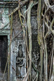 Korzenie r na ruinach, Ta Prohm świątynia, Angkor Wat Obraz Stock