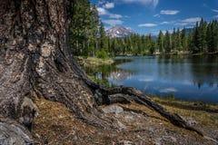 Korzenie stara sosna, Odbicie jeziora, Lassen szczyt, Lassen parka narodowego ` Fotografia Stock
