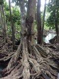 Korzeniowa drzewna roślina Obraz Stock