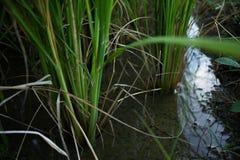 Korzeniowe uprawy w wodzie Obraz Royalty Free