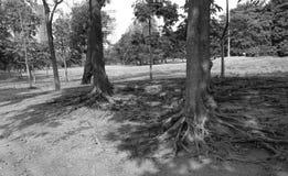 Korzeniowi drzewa w parku Fotografia Stock