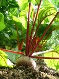 korzeniowi warzywa Zdjęcia Royalty Free