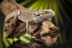 Korzeniowy Brodaty smok, Agama jaszczurka na czerni lustra tle Zdjęcie Royalty Free