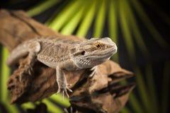 Korzeniowy Brodaty smok, Agama jaszczurka na czerni lustra tle Obrazy Royalty Free