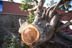 Korzeniowy drzewa cięcie Fotografia Stock