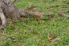 korzeniowy drzewo Zdjęcia Royalty Free