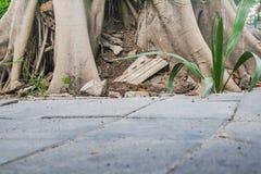 korzeniowy drzewo Fotografia Royalty Free