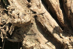 korzeniowy drzewo Zdjęcie Royalty Free
