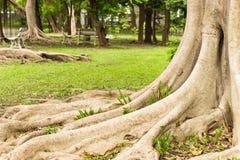 Korzeniowy drzewo w ogródzie Obraz Stock