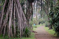 Korzeniowy drzewo w parku Z ścieżka sposobem Obrazy Royalty Free
