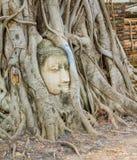 Korzeniowy drzewo wokoło głowy wizerunek Buddha Obrazy Stock