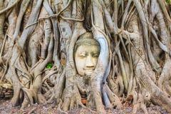Korzeniowy drzewo wokoło głowy wizerunek Buddha Obraz Stock