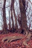 Korzeniowy drzewo z spadków liśćmi Obrazy Stock