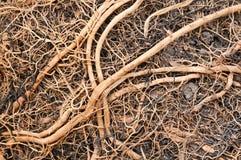 korzeniowy zamknięty korzeniowy drzewo Obrazy Stock