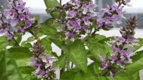 Korzenny trawa basil fragrant Obrazy Stock