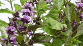 Korzenny trawa basil fragrant Zdjęcia Stock