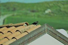 Kos na dachu Obrazy Stock