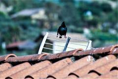Kos na dachu Obrazy Royalty Free