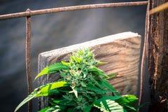 Kosher υπαίθρια Καλιφόρνια ιατρική μαριχουάνα Kush Στοκ Φωτογραφίες