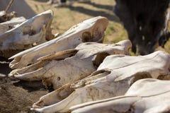 Koskallar som ligger på djura pälsar Arkivfoto