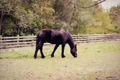 Koński pasanie w paśniku Obrazy Royalty Free
