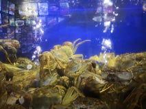 Kosmaci kraby w akwarium obrazy royalty free