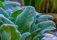 Kosmaci liście rośliny Stachys zbliżenie Zdjęcie Stock
