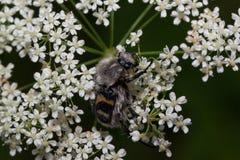 Kosmata ściga siedzi na małych białych kwiatach Zwierzęta w przyrodzie Zdjęcie Royalty Free