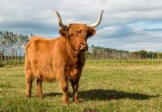 Kosmata Brown krowa Obraz Royalty Free