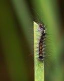 Kosmata gąsienica Zdjęcia Royalty Free