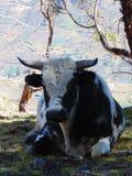 Kosmata krowa i rogaty siedzący bierze cień Zdjęcie Stock
