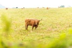 Kosmata szkocka krowa w średniogórzach, Szkocja Zdjęcie Royalty Free