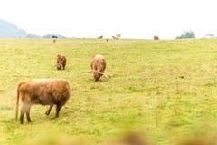 Kosmata szkocka krowa w średniogórzach, Szkocja Zdjęcia Royalty Free