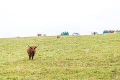 Kosmata szkocka krowa w średniogórzach, Szkocja Zdjęcie Stock