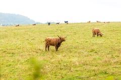 Kosmata szkocka krowa w średniogórzach, Szkocja Fotografia Stock