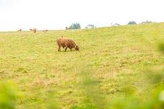 Kosmata szkocka krowa w średniogórzach, Szkocja Obraz Stock