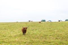 Kosmata szkocka krowa w średniogórzach, Szkocja Obrazy Stock