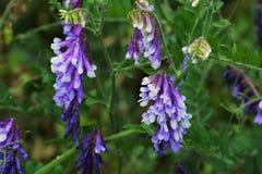 Kosmata wyka, Vicia villosa/ Zdjęcie Stock