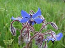 Kosmaty Błękitny Borage Borago officinalis starflower rocznika ziele Zdjęcie Stock