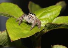 Kosmaty, brown skokowy pająk na liściu, Zdjęcia Royalty Free