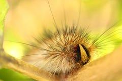 Kosmaty Caterpillar Zdjęcie Stock